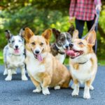 Four Beautiful #Corgis, Three Lovely Ladies, and $6,000 for Deserving Dogs!