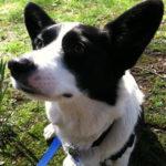 City Dog, Country Dog: Corgi Mix Bart of New Jersey