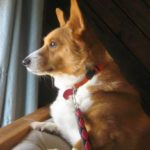 Colby of Missouri: #Corgi Love is For Keeps