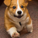 LOLZ Monday:  Herp-Derpin' #Corgis and More!