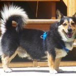 Thursday #Corgi Adoptables: Mister of St. Louis!