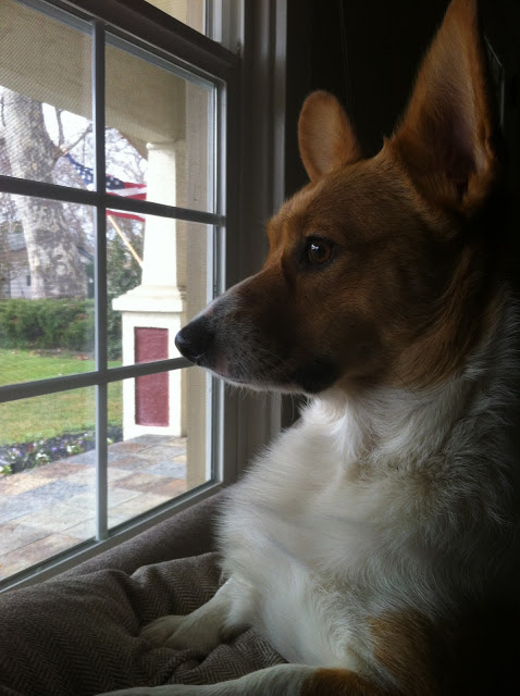 Wednesday Window Watchers: #Corgis On Patrol!