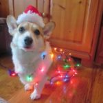 More #Corgi Christmas Photos … can you handle this much cute?
