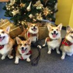 A Very #Corgi Christmas Eve!