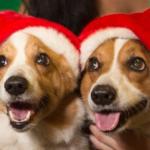 Saturday #Corgi Smilers: Christmas Edition!