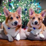 The Parade of Christmas Corgi Pics Rolls On!