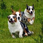 Saturday #Corgi Smilers: Simon, Caleb and Bella!