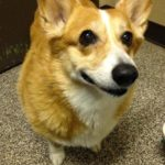 Thursday #Corgi Adoptions: Misty May!