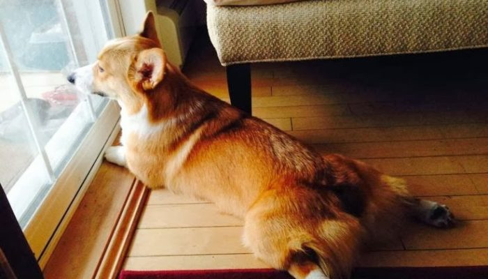 Throwback Thursday: Top 20 Ways for Corgis to Spend a Snowed-In Snow Day!