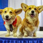AKC's Meet The Breeds 2015: Wally the #Corgi and Friends!
