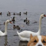 Best #Corgi Photo Bomb Ever? Goro and the Birds!