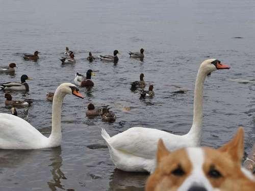 Best #Corgi Photo Bomb Ever? Goro and the Birds!