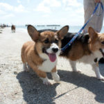 #Corgi Fun at Florida's Fort De Soto Dog Beach!