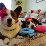 #Corgi Countdown to Valentine's Day!