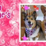 It's A Very #Corgi Valentine's Day!