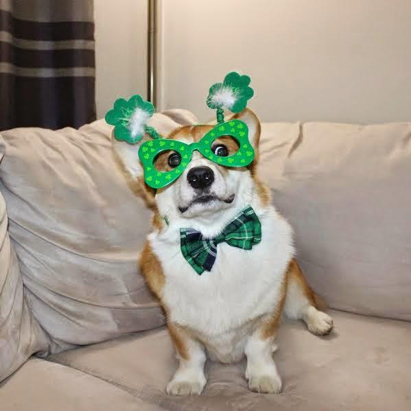 Wishing You A Corgi-licious Saint Patrick's Day!