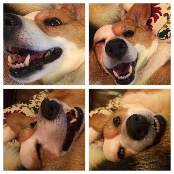 #Corgi Selfies ROCK!