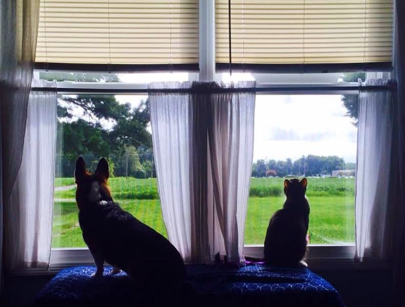 How Cute is That #Corgi In The Window?