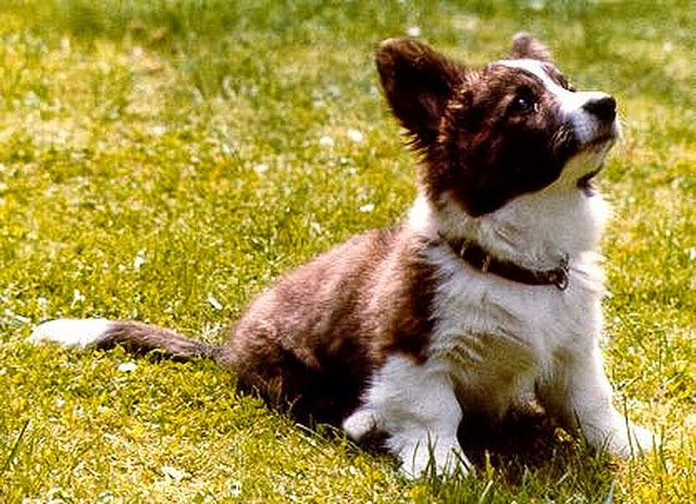 Seven #Corgis, Thirty-Four Years and a Lifetime of Dog Dreams