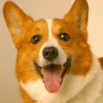 Thursday #Corgi Adoptables: Bravo the Force of Nature!