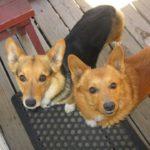 Joey and Kia: A Doubly #Corgi – licious Rescue and Adoption Story!