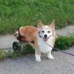 Love and Ears on Wheels: Cady the #Corgi of Ilinois!