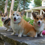 Ruby, Sam and Delilah: A New Orleans Corgi-ocracy!