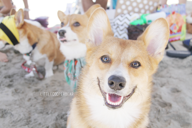 The 2015 So Cal #Corgi Nation Summer Beach Day: 800+ Corgis In One Place!
