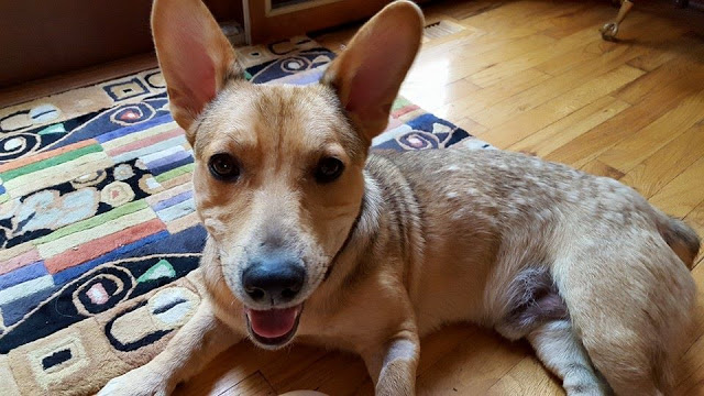 Thursday #Corgi Adoptables: Scooter's Happy Ending!