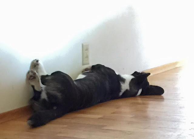 That's SO Corgi: I Want Your Wall Sleeping Pics!