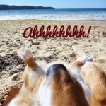 It's a #Corgi Photo Bomb — Aussie Style!