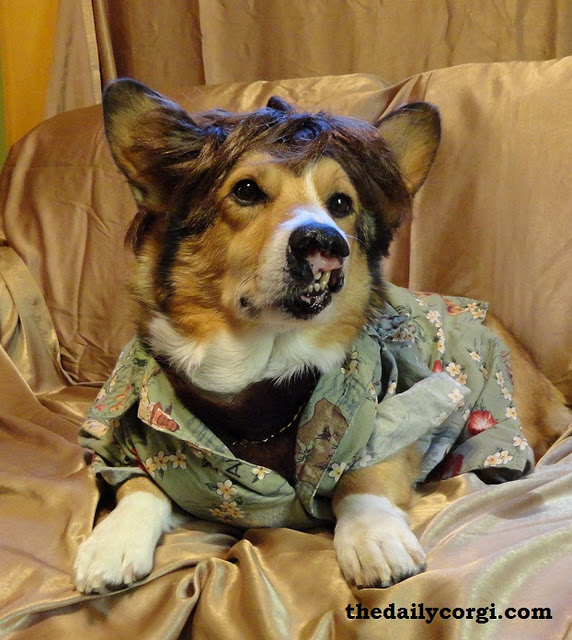Wigged Out Wednesday Ten Corgis Wearing Wigs The Daily