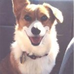 Charlie: The #Corgi Who Rescued Me