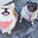 #Corgi Meets Pug: Get Your Goober On!