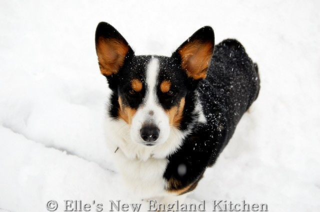 New England #Corgi Power: Hammy, Phoebe, Roxy and Tolee of New Hampshire!