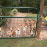 Kirby, Tucker, Cricket, Gunny and Penny: The Proud Spirit #Corgis