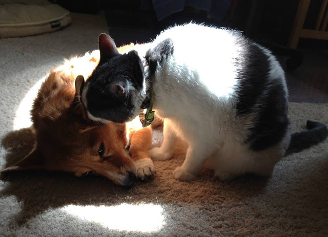#Corgis n' Cats: Rosie and Friend