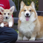 New #Corgi Kid On The Block: Serena of Iowa!