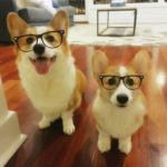 It's A Specs-tacular #Corgi Friday!