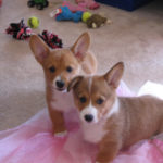 Howard and Sookie: Florida #Corgi Duo