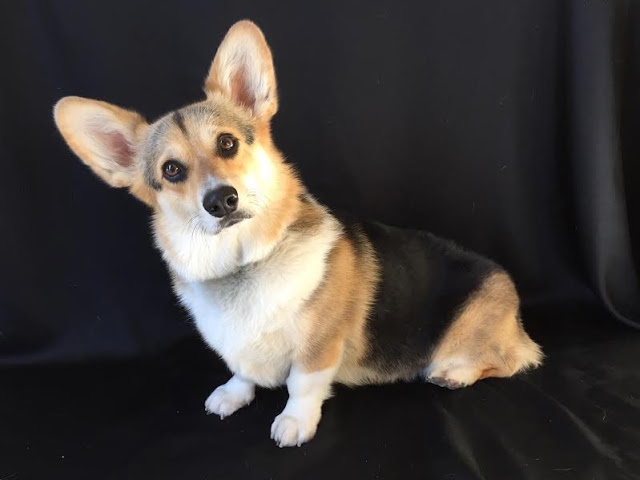 Thirteen Things to Know About Missy the Cali #Corgi!