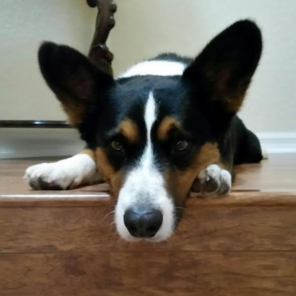 Kelvin the Cardigan Corgi: Life's Better With A Tail to Chase!
