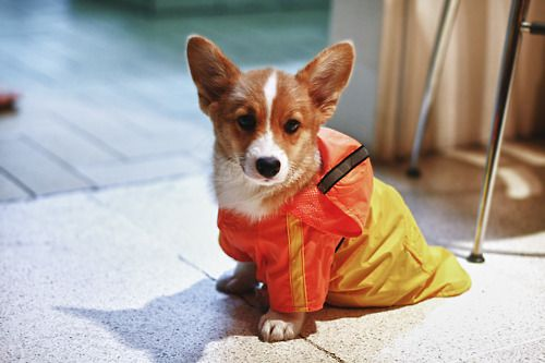 Twenty One #Corgis In Raincoats (and Two With None)!