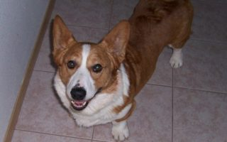 Friday Finale: Two Dozen More Corgi Grins!