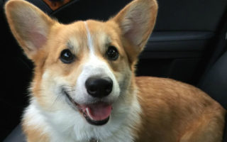 It's Official! Welcome Back, My Corgi People!