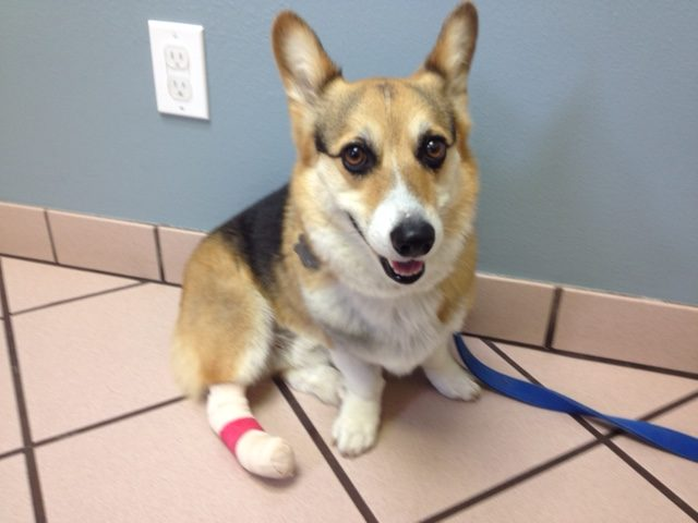 Odie at the vet's office, still smiling after being treated for a painful toenail injury.