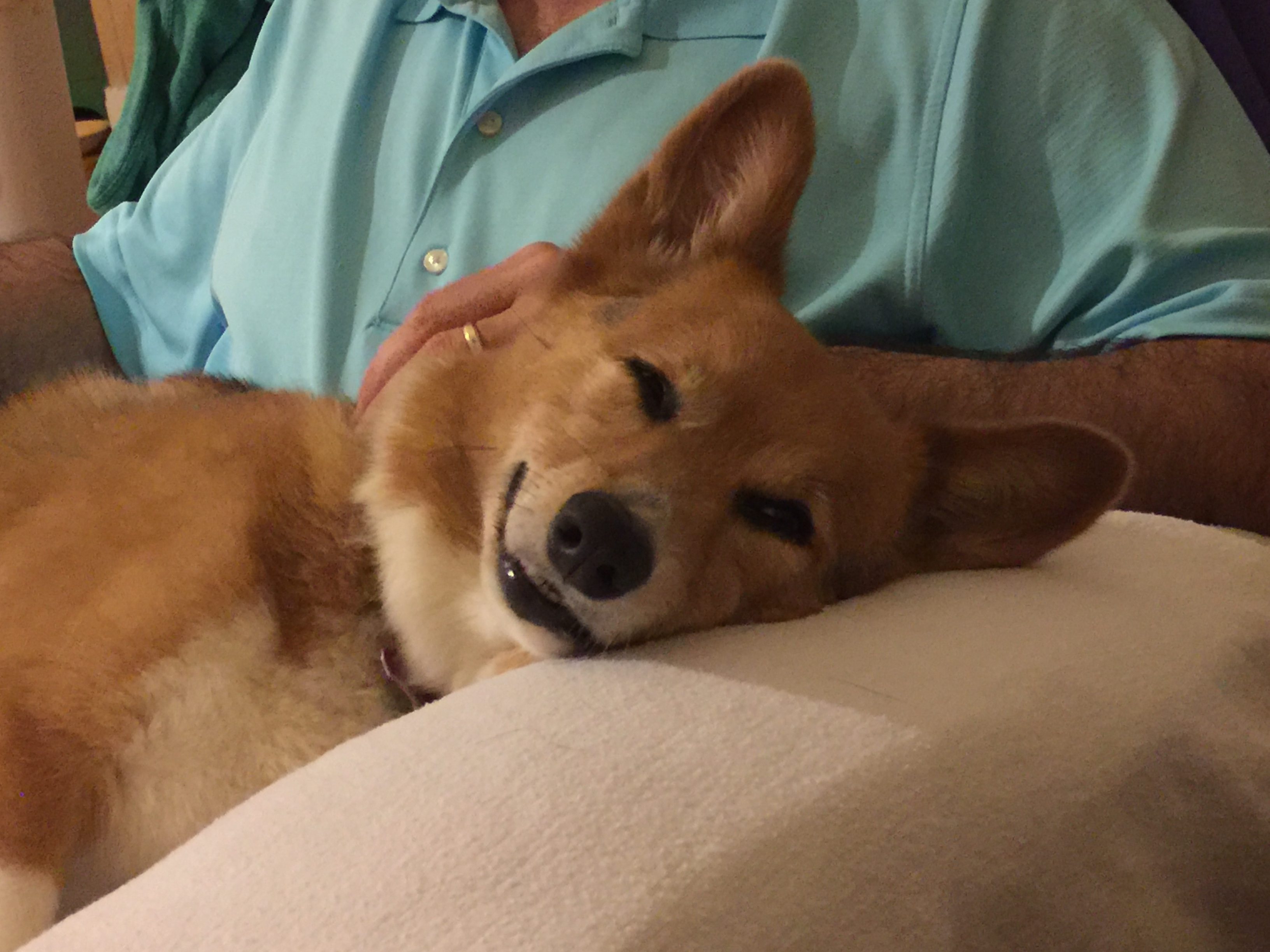 Griffin enjoyed all three of his favorite things on the day this picture was taken: a long walk on the beach, dinner, and sleeping on Dad's lap. HAPPY CORG!