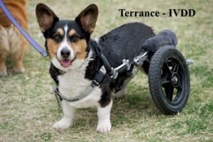 Terrance IVDD 2