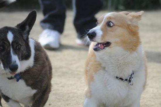 The Daily Corgi / bit.ly/2gnlqbW