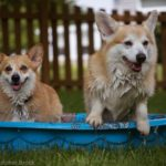 Mirth, Merry Legs and Many Happy Returns: The 2016 Philly Corgi Picnic!